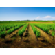 The famous vineyards of Languedoc