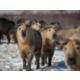 The Wilds- Sichuan Takin