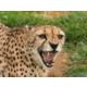The Wilds- Cheetah