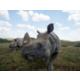 The Wilds- Rhino