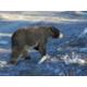 Black Bear - Credit to NL Tourism