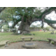 Sallier Oak - over 375 years old