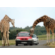 Visit Parc Safari and their drive through animal exhibit!