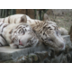 Parc Safari has rare white tigers!!