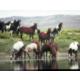 Wild horses roam free in Southwestern Wyoming