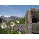 Typical wooden fence with daisies
