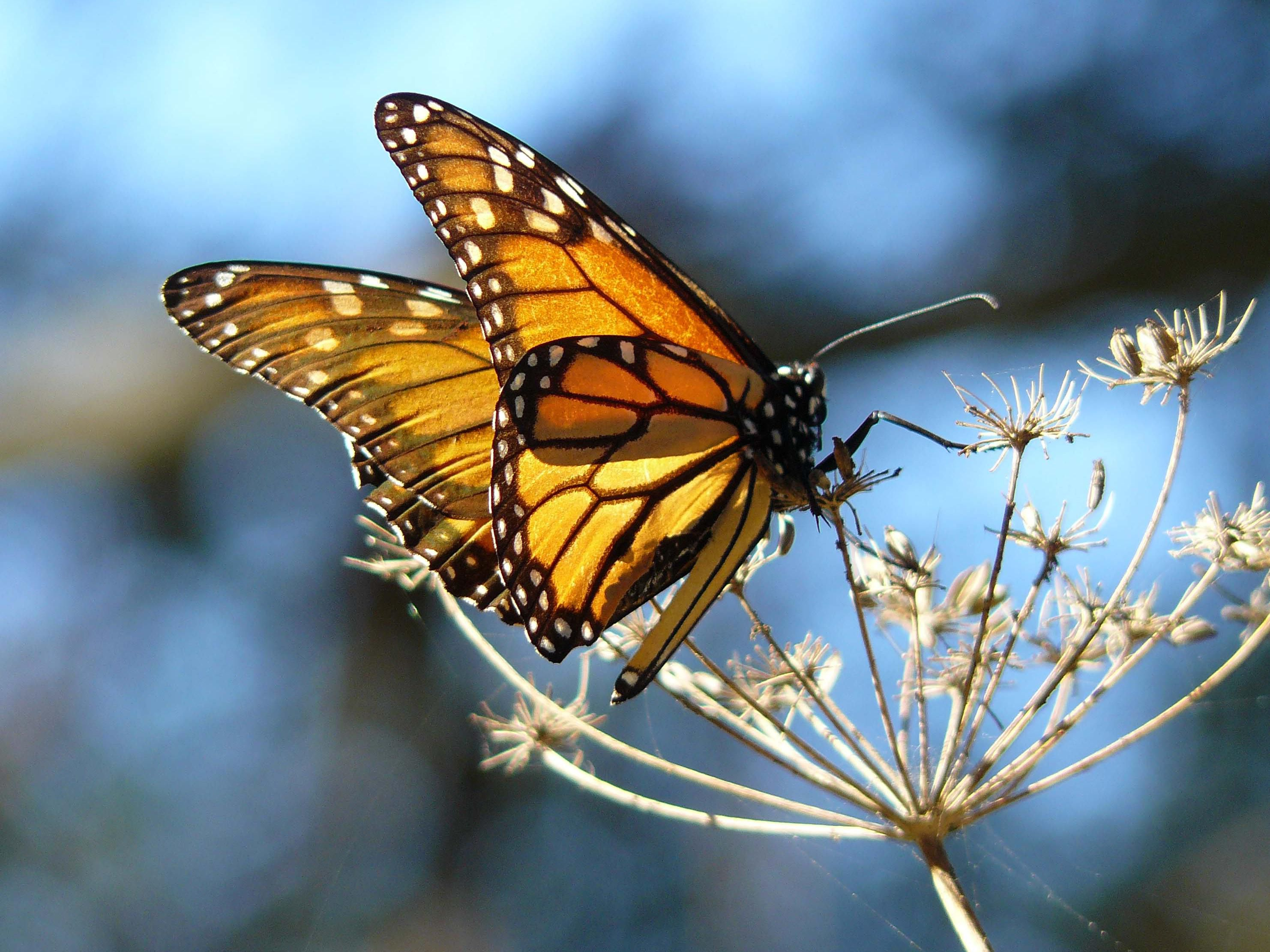 Monarch Butterfly Grover | Pismo Beach