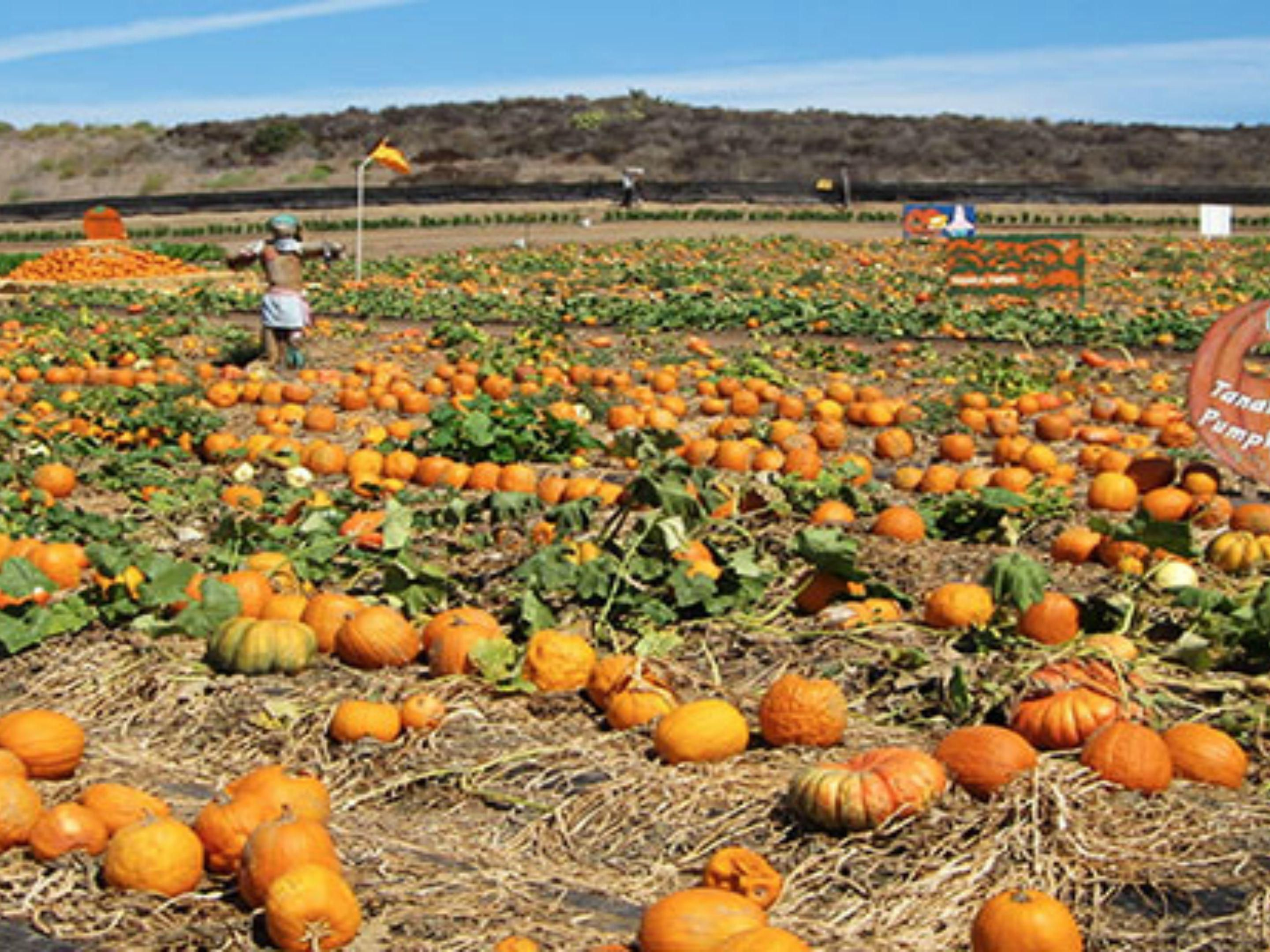 Tanaka Farms voted best pumpkin patch near our Santa Ana hotel